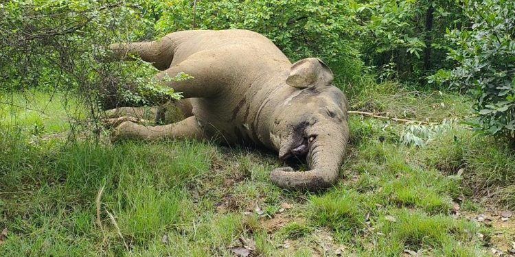 Yet another jumbo killed in Angul