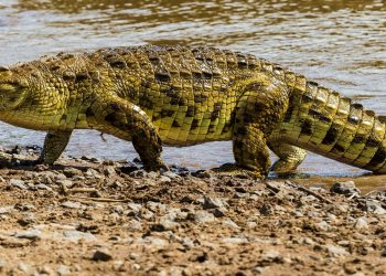 Forest department begins probe after people feast on crocodile