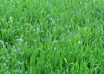 Green fodder hope for COVID-hit Sambalpur farmers