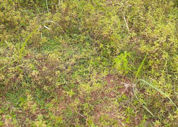Lemongrass plantation project dies an untimely death in Mayurbhanj