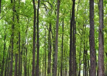 Western Odisha: Sal forest to be raised over 10 hectares in Sambalpur