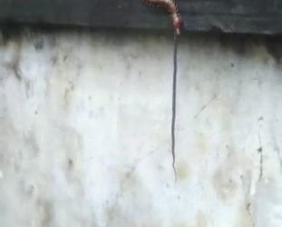 Unbelievable Centipede gobbles up snake! Yes, this happened in Odisha