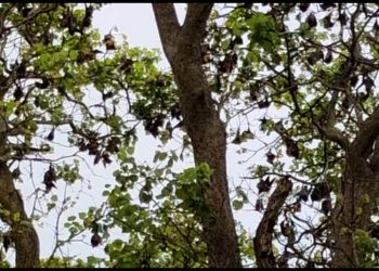 Even if 'bats' are blamed for 'coronavirus', these villagers in Odisha' Keonjhar protect them