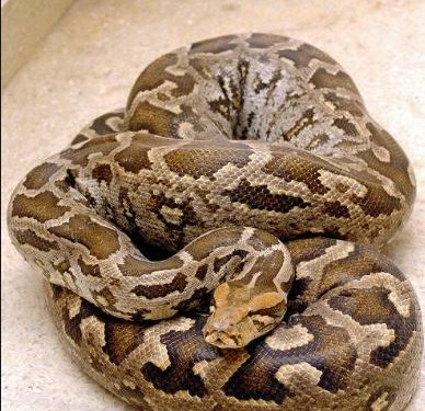 Snakes Out in The Rains: Python rescued from Malkangiri COVID hospital, King Cobra from Ganjam's temple