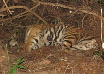 Tiger repopulation project in Satkosia comes a cropper