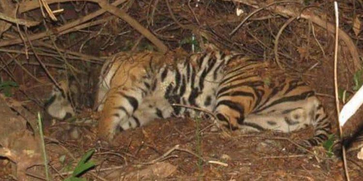 Tiger repopulation project in Satkosia comes a cropper
