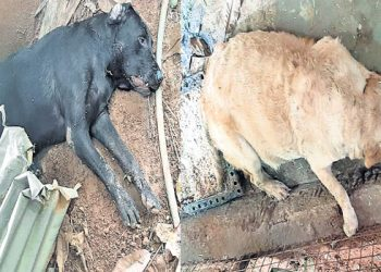 Two Labrador dogs take on cobra, sacrifice lives to save master's life; read on for details