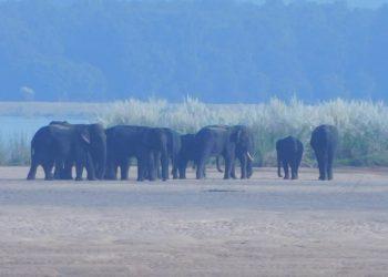 Elephant herd stuck in River Mahanadi; rescue operation underway