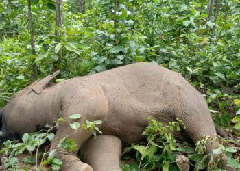 Female elephant calf carcass found in Keonjhar forest, investigation on