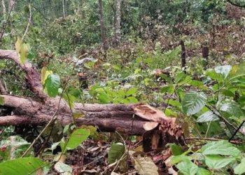 Mafia strips reserve forest of precious timber