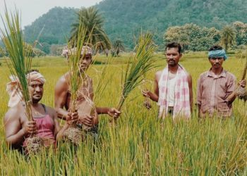Pest attack worries Boudh farmers
