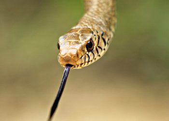 Shocking! 5-foot-long snake found inside jar in Angul