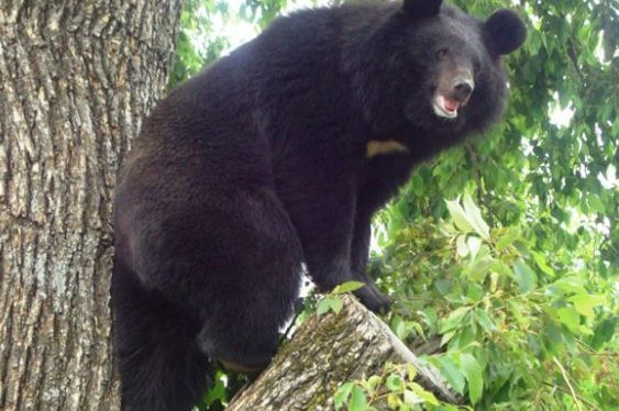 Wild bear spotted inside school campus in Nabarangpur