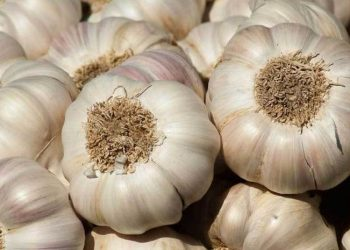 Want to strengthen immune system Add garlic cloves to your diet