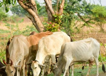 Weird! Bolangir family ostracised as neighbour's cow devours crops in their farmland