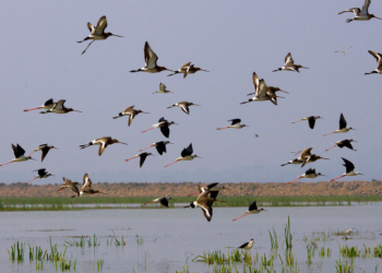 2 poachers arrested for alleged hunting of migratory birds in Chilika