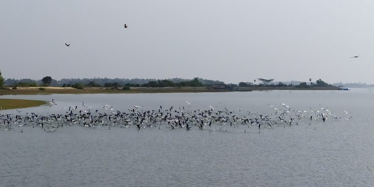 Arrival of migratory birds to Chilika lake delayed