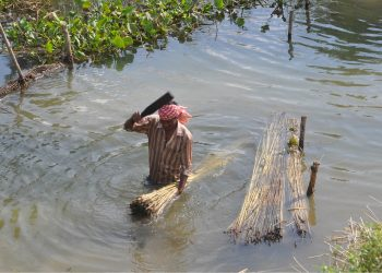 Jute cultivation in Kendrapara on the wane