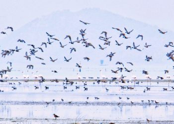 4,87,000 winged guests flock Chilika