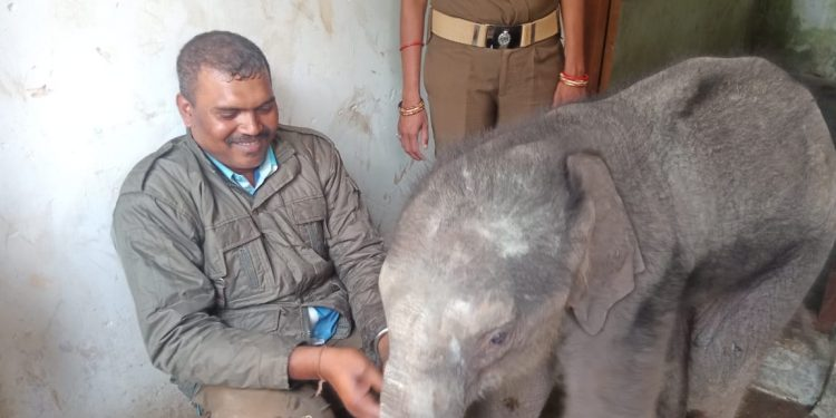 Rescued elephant calf sent to Kapilas zoo