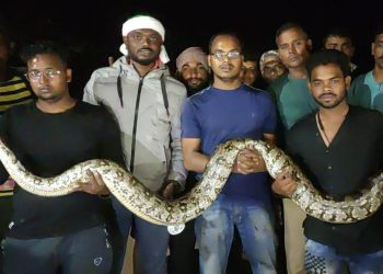 Two giant pythons rescued in Ganjam