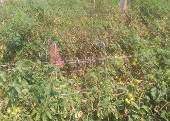 Farmers worried as leaf blight disease hits tomato crop in Jajpur