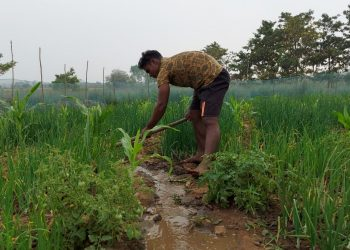 Int'l weightlifter takes to cultivation for a living