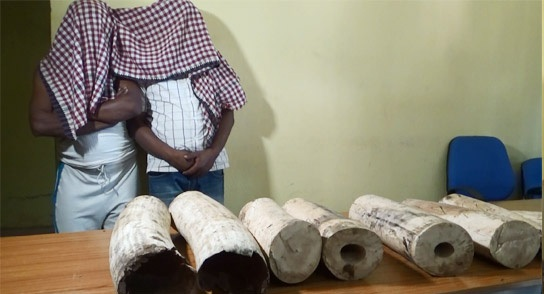Ivory worth Rs 18 lakh seized in Mayurbhanj, two arrested