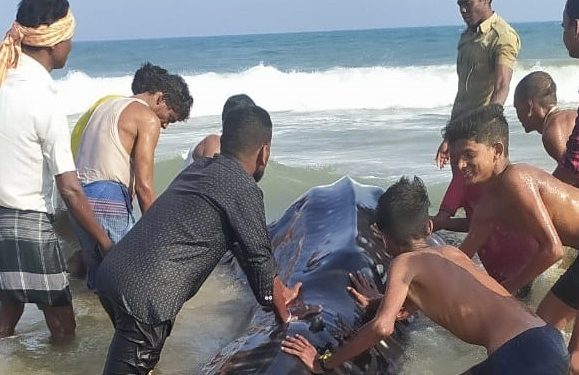 Rare 15 feet long whale shark spotted in Ganjam district, released safely into waters