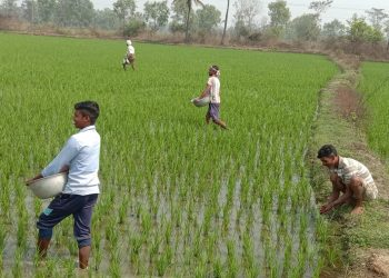 Urea black marketing ails Bargarh farmers