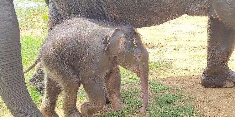 B'luru Zoo names elephant calf after Sudha Murthy for contribution