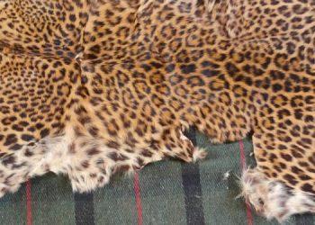 Leopard skin seized, 2 arrested in Nayagarh