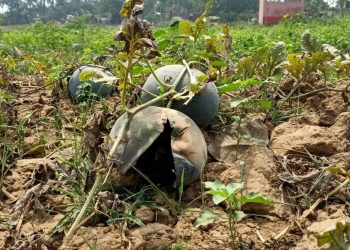 Watermelon farmers in distress as 'mystery' disease damages crops