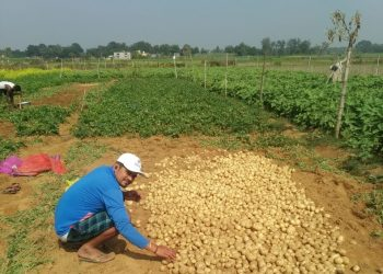 Potato mission fails in Jajpur district