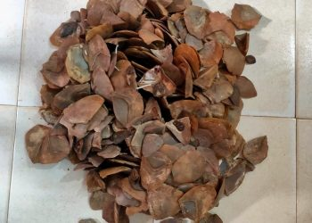 4.82 kilograms of Pangolin scales seized in Mayurbhanj district, 1 arrested