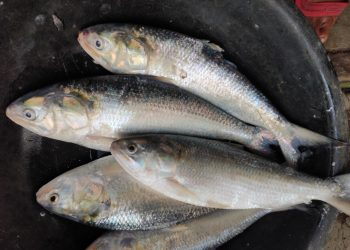 Hilsa back in Gobari after 30 yrs, thanks to Yaas