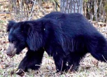 Bear mauls man to death in Nabarangpur district